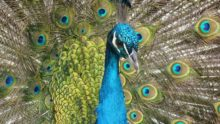 peacock-90051_795x449px